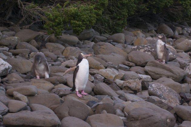Neuseeland Campingplatz Pinguine Curio Bay