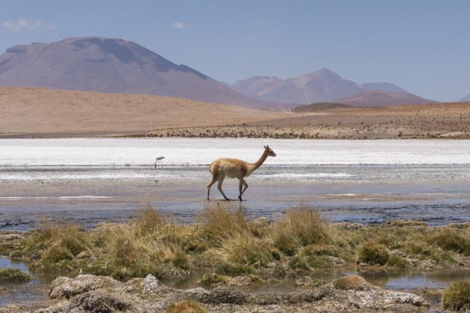 Tour Salar de Uyuni Wildlife