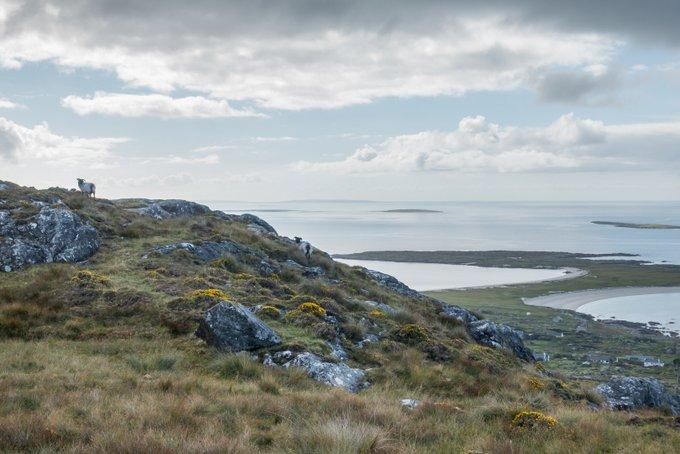Wandern in Connemara Errisberg Schafe