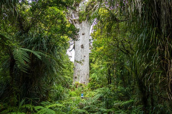 Neuseeland für Fotografen Kauribäume auf der Nordinsel