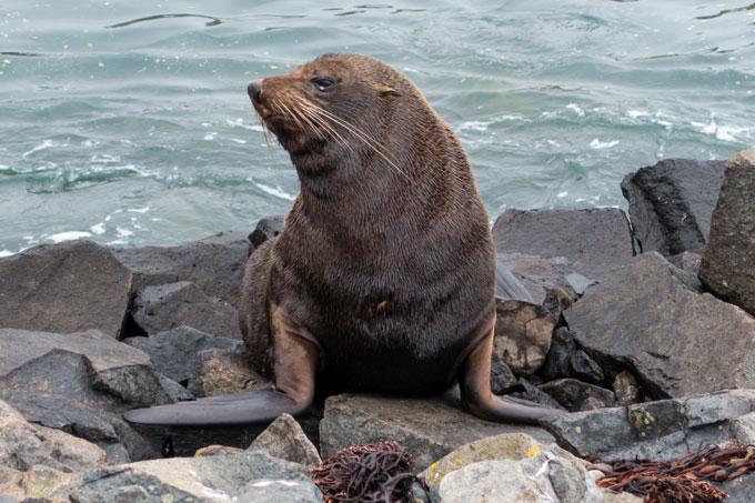 Neuseeland für Fotografen Seelöwen am Strand