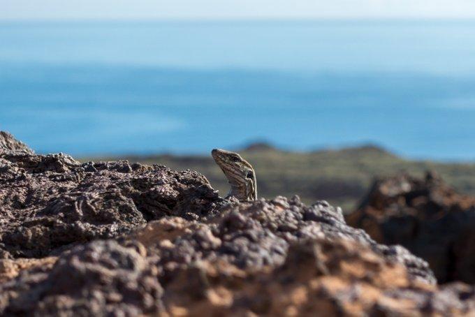 Wandern auf Teneriffa Malpais de Güimar Eidechse