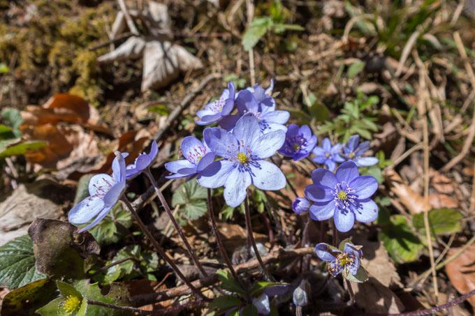Frühlingsboten am Wolfgangsee