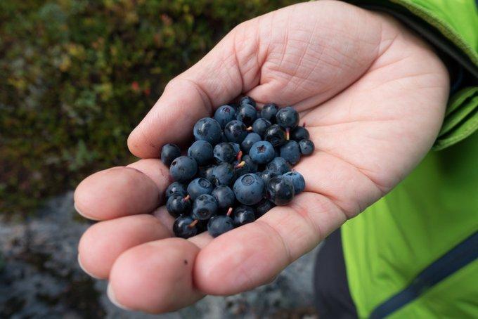 Wandern in Norwegen Blaubeeren