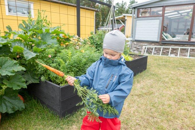 Karotten pflücken Schweden