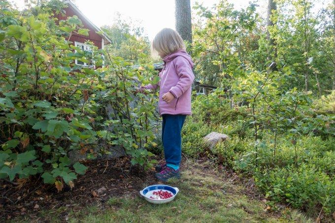 Schweden im Sommer Beeren pflücken